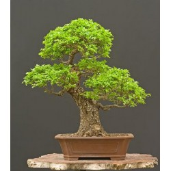 Semena bonsai